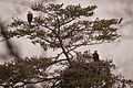Eagle Parents Guarding Nest (7415641882).jpg