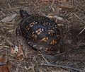 Eastern Box Turtle 8659.jpg
