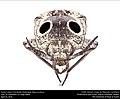 Eastern Eyed Click Beetle (Elateridae, Alaus oculatus) (26528011684).jpg