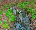 Eastern Skunk Cabbage along brook in sprintime.jpg
