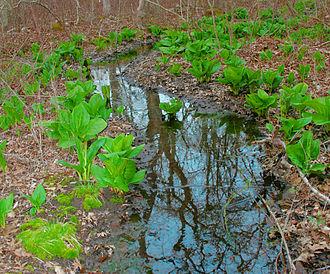 Symplocarpus foetidus - Image: Eastern Skunk Cabbage along brook in sprintime
