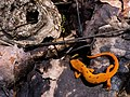 Eastern Spotted Newt (Eft Stage) - Awenda Provincial Park.jpg