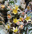Echeveria multicaulis, the Copper Rose (10584250514).jpg