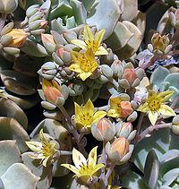 Echeveria multicaulis, the Copper Rose (10584250514).jpg