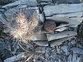 Echinocereus stramineus and Mammillaria heyderi (5707787584).jpg