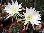 Echinopsis boyuibensis1PCJO.jpg