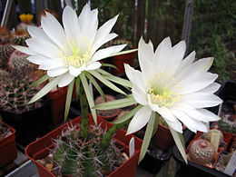 Echinopsis boyuibensis1PCJO