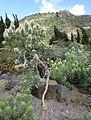 Echium aculeatum kz2.JPG