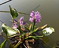 Eichhornia crassipes, commonly known as common water hyacinth. കുളവാഴ.jpg