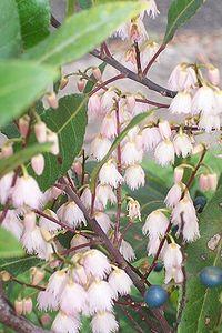 Elaeocarpus reticulatus flowers & fruit