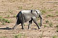 Elephant in Chobe National Park 05.jpg