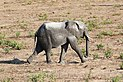 Elephant in Chobe National Park 05.jpg