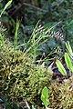Elleanthus fractiflexus (Orchidaceae) (32177296416).jpg