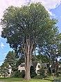 Elm Tree on Elm Street in Plaistow, NH - August 2019.jpg