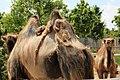Em - Camelus bactrianus - 5.jpg