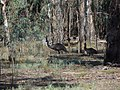 Emus at Murray Valley National Park, NSW.jpg