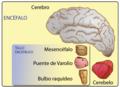 Encéfalo.png