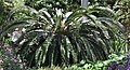 Encephalartos woodii Plant.JPG