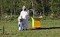 Enne meevõttu uimastatakse mesilasi suitsuga. 2013. aastal Kõrvemaa serval..jpg