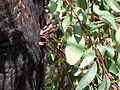 Epicormic Shoots from an Epicormic Bud on Eucalyptus following Bushfire 2, near Anglers Rest, Vic, Aust, jjron 27.3.2005.jpg