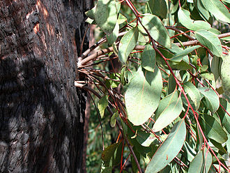 Bushfires in Australia - Epicormic shoots sprouting vigorously from epicormic buds beneath the thick bushfire damaged bark of a Eucalyptus tree – one of the strategies evolved by plants to survive bushfires