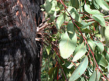 Eucalyptus Tree Adaptations