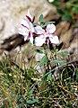 Epilobium latifolium album 2001-07-15.jpg