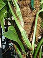 Epipremnum-aureum-stem-abrimaal.jpg