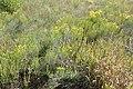 Ericameria nauseosa kz07.jpg