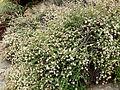 Eriogonum parvifolium 1.jpg