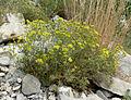 Eriogonum umbellatum var subaridum 2.jpg