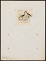 Erismatura rubida - 1820-1863 - Print - Iconographia Zoologica - Special Collections University of Amsterdam - UBA01 IZ17700171.tif