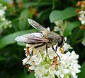 Eristalis tenax - Flickr - gailhampshire (6).jpg