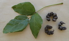 Erythrina haerdii leaf and pods.jpg