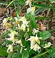 Erythronium californicum 1.jpg