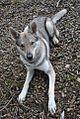 Eska der Tschechoslowakische Wolfhund brav im Platz.jpg