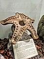 Estrella de Mar de piedra.jpg