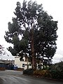 Eucalyptus Tree - geograph.org.uk - 1045567.jpg