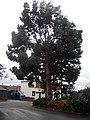 Eucalyptus Tree - geograph.org.uk - 1045567.jpg
