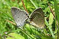 Euchrysops cnejus Fabricius, 1798 – Gram Blue mating at Madayippara.jpg