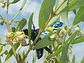 Euclea undulata, loof en blomme, b, Faerie Glen NR.jpg