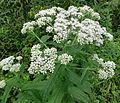 Eupatorium perfoliatum SCA-04382.jpg