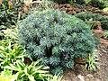 Euphorbia characias - Kunming Botanical Garden - DSC03146.JPG