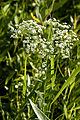 Euphorbia corollata2.jpg