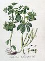 Euphorbia helioscopia — Flora Batava — Volume v4.jpg