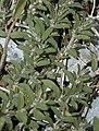 Euphorbia humistrata NRCS-01 (cropped).jpg