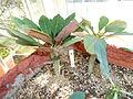 Euphorbia millotii - Lyman Plant House, Smith College - DSC04307.JPG