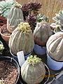 Euphorbia obesa (3645367542).jpg