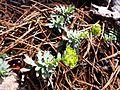 Euphorbia saxatilis sl4.jpg