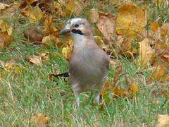 Eurasian Jay-Mindaugas Urbonas-2.jpg